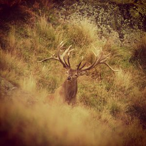 Red Stag in New Zealand