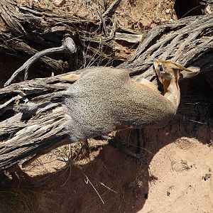 Hunt Damara Dik Dik in Namibia