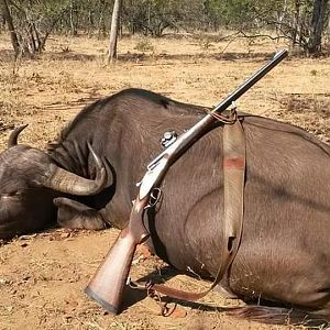 South Africa Hunt Cape Buffalo Cow