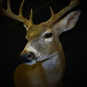 Whitetail Deer Shoulder Mount Taxidermy