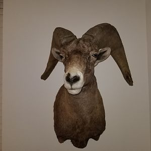 Desert Bighorn Sheep Shoulder Mount Taxidermy