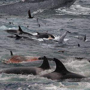 Killer Whales attacking a Blue Whale