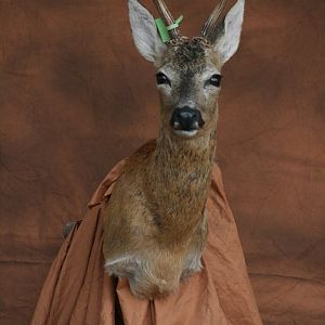 Roe Deer Shoulder Mount Taxidermy