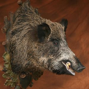 Wild Boar Shoulder Mount Taxidermy