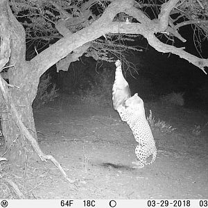 Trail Cam Pictures of Leopard in South Africa