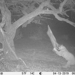South Africa Trail Cam Pictures Leopard