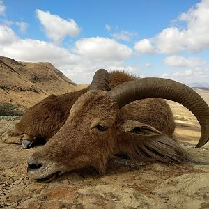 South Africa Hunt Aoudad