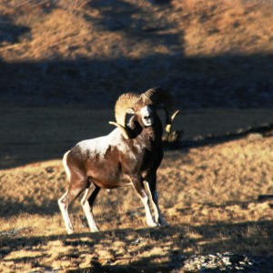Argali in the outter parts of China