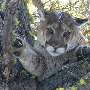 Typical mountain lion stare. Looks like a harmful pussy cat does he not?