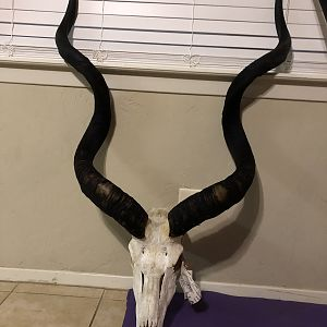 Kudu European Skull Mount Taxidermy