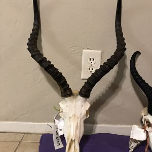 Impala European Skull Mount Taxidermy