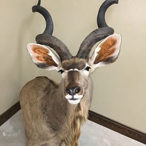"54"" Inch Kudu Shoulder Mount Taxidermy"