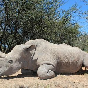 White Rhino Hunting South Africa
