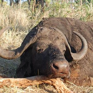 Hunt Cape Buffalo in South Africa