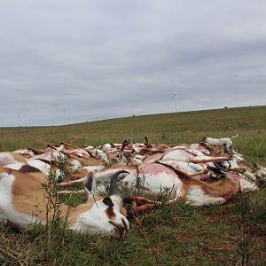 Cull Hunting Springbok in South Africa