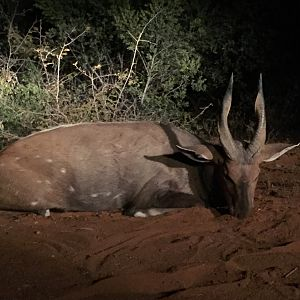 South Africa Hunting Bushbuck
