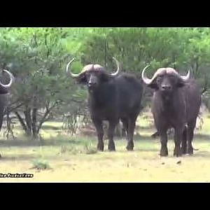 Buffalo hunt South Africa