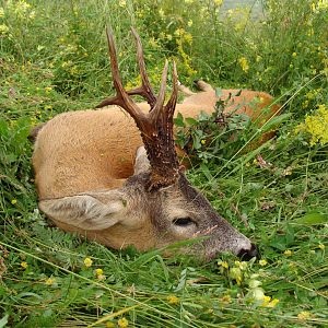 Hunt Roe Deer in Romania