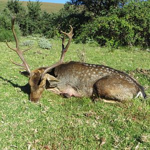 South Africa Hunting Fallow Deer