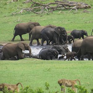 Herd of Elephant in Zimbabwe