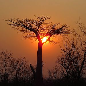 Boabab Tree Sunset Zimbabwe