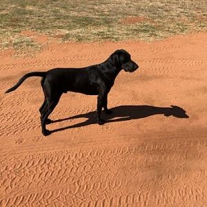 Hunting Dog South Africa