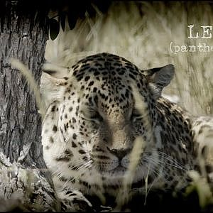 Leopard Hunting in Namibia