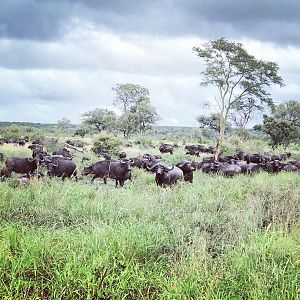 Herd of Cape Buffalo in Mozambique