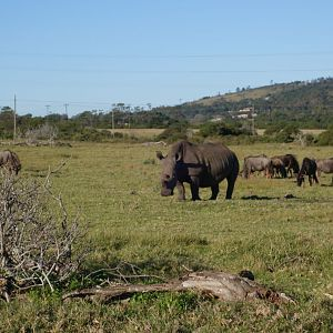 Blue Wildebeest & White Rhino Port Elizabeth South Africa