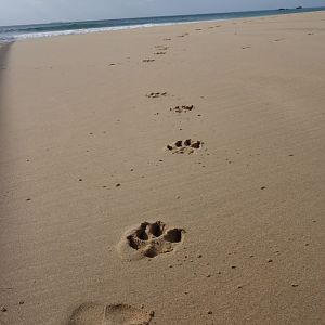 Dog tracks on the beach