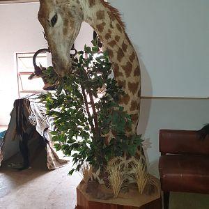 Giraffe Shoulder Mount Taxidermy