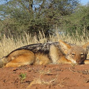 Hunt Jackal in Namibia