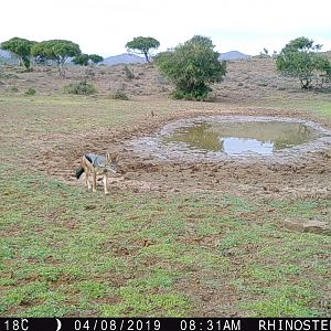 South Africa Trail Cam Pictures Jackal