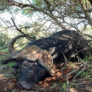 Cape Buffalo Hunt South Africa