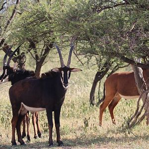 Sable Antelopes South Africa