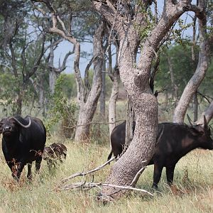 Cape Buffalo Herd South Africa