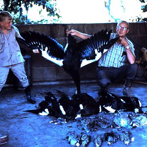 Spur-winged Goose Hunting Tanzania during 60's