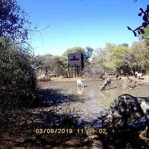 South Africa Trail Cam Pictures Blue Wildebeest & Kudu