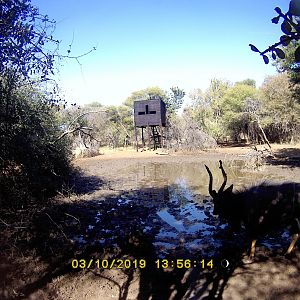 Trail Cam Pictures of Nyala in South Africa