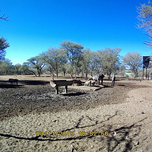 South Africa Trail Cam Pictures Warthog & Waterbuck