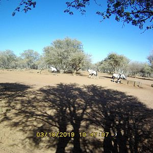 Trail Cam Pictures of Gemsbok in South Africa