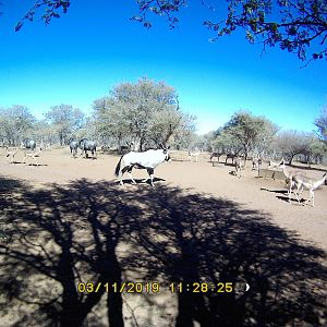 Gemsbok, Blue Wildebeest & Impala Trail Cam Pictures South Africa