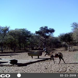 South Africa Trail Cam Pictures Red Hartebeest