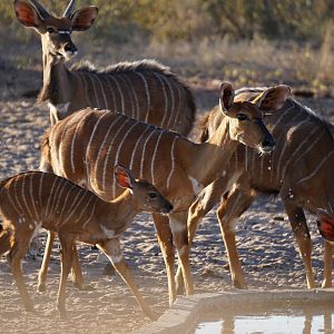 Nyala Females & Youngsters