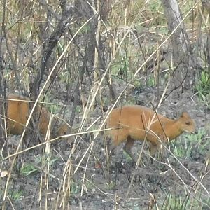 Red-flanked Duiker in Cameroon