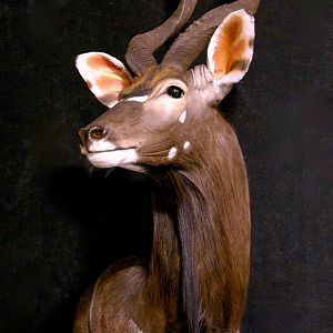 Nyala Shoulder Mount Wall Pedestal Taxidermy
