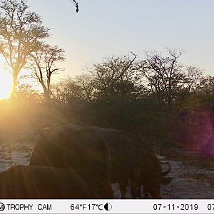 Cape Buffalo Trail Cam Pictures Zimbabwe