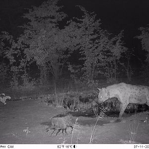 Zimbabwe Trail Cam Pictures Spotted Hyena