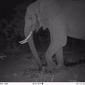 Trail Cam Pictures of Elephant in Zimbabwe