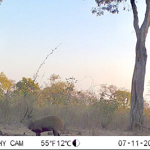 Bushbuck Trail Cam Pictures Zimbabwe